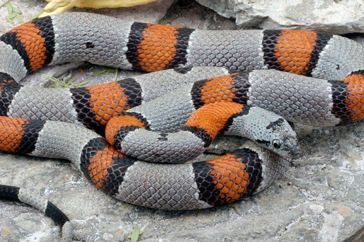 gray banded king snake