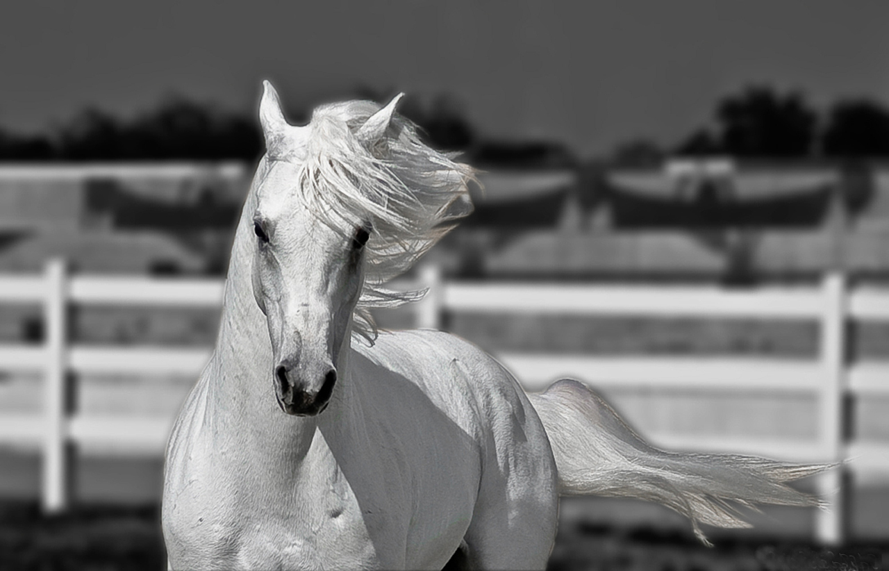 HD Animals Wallpapers: Beautiful White Horses