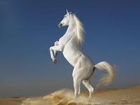 Arabian Stallion Puzzle
