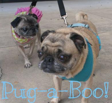 Pug-a-Boo!
