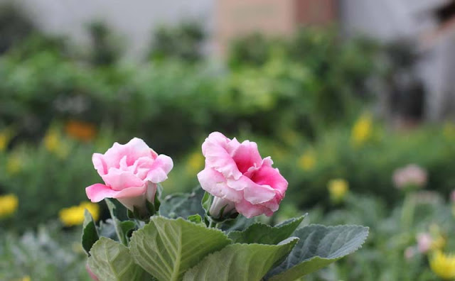 Gloxinia Flowers Pictures