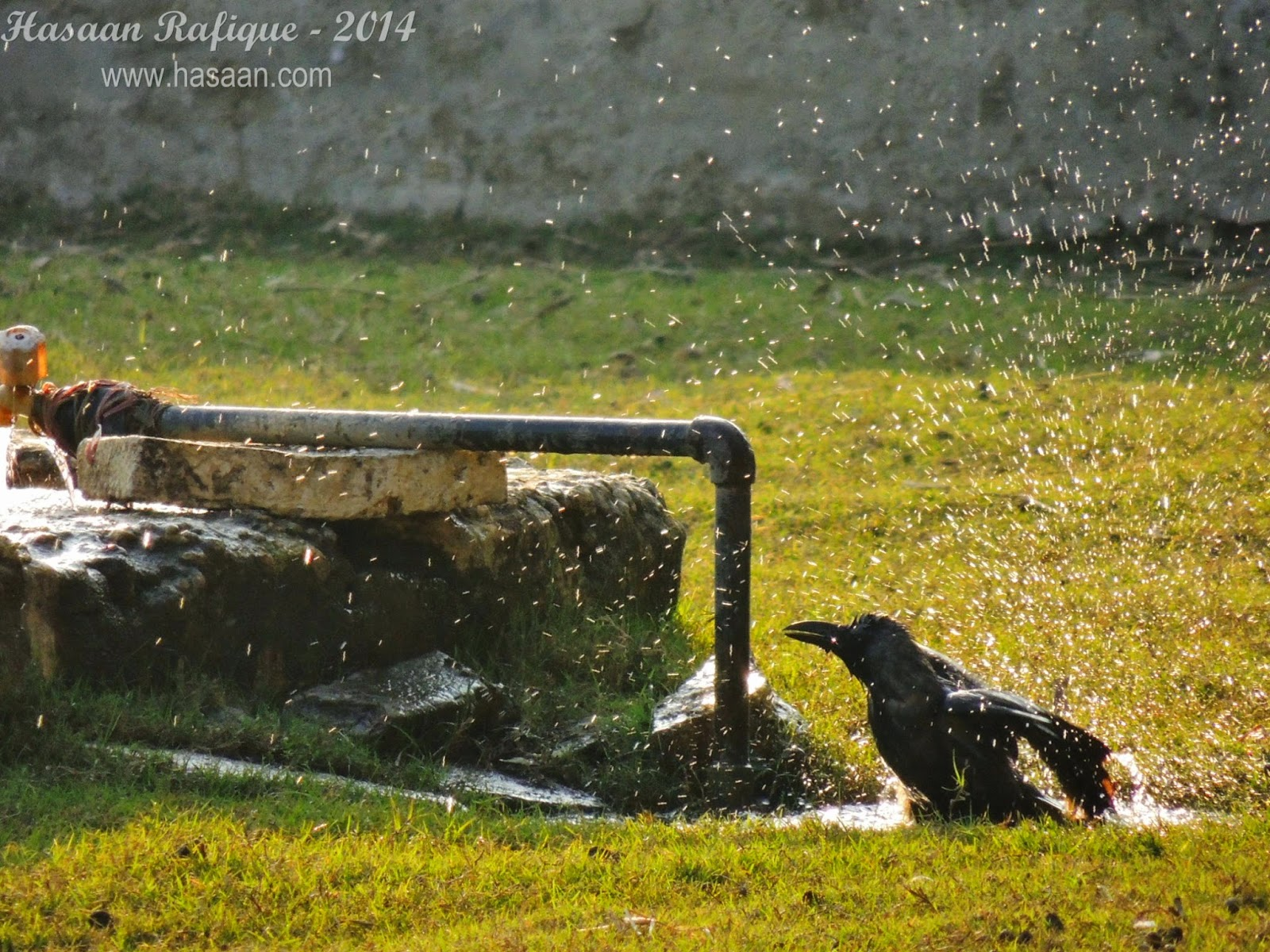 Not exactly a wildlife shot. A crow bathing itself in the water to combat the heat.