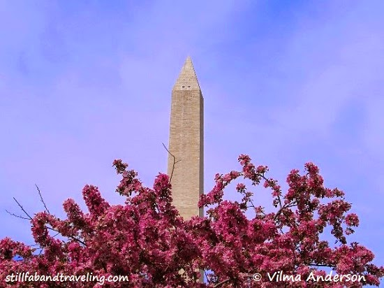 Picture of a blooming cherry blossom tree in front of the the Washington Monument in DC