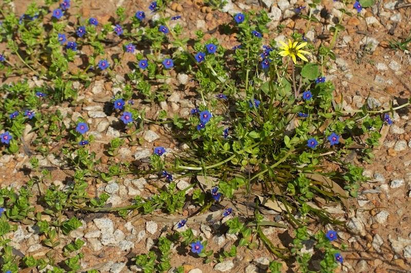 Capeweed (Arctotheca calendula)