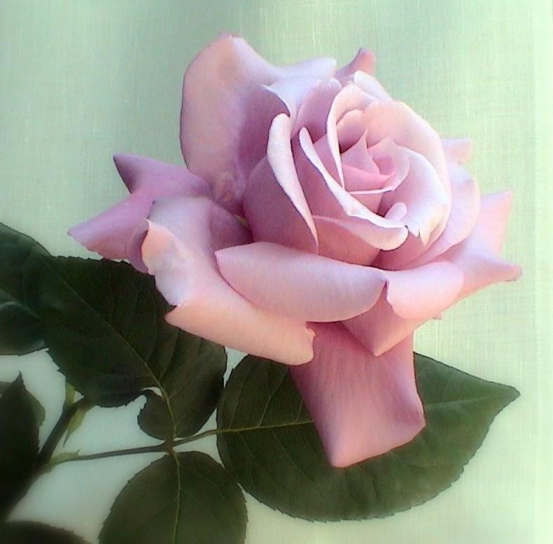 Il vento ama pioggia di rose for Rose color rosa antico