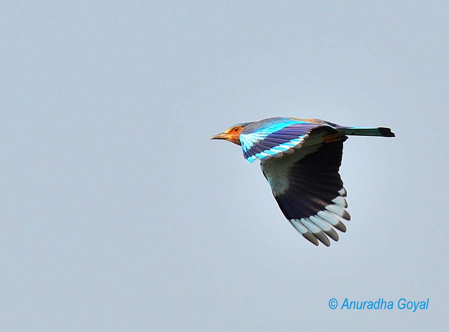 India Roller bird in-flight, Satpura national park