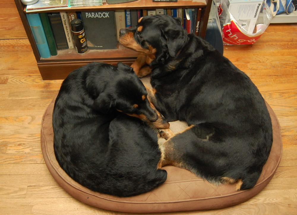 Living With Rottweilers Love On A Little Dog Bed