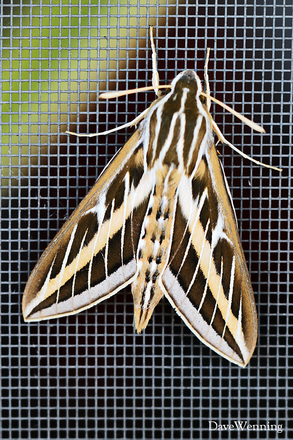 White lined sphinx moth - photo#27
