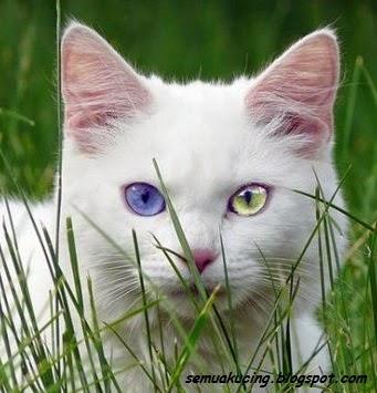 Kucing putih tuli, mata biru, odd eye