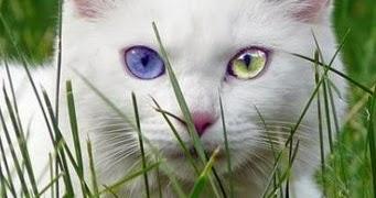 Kucingku Sayang Kucing Putih Juga Punya Mitos