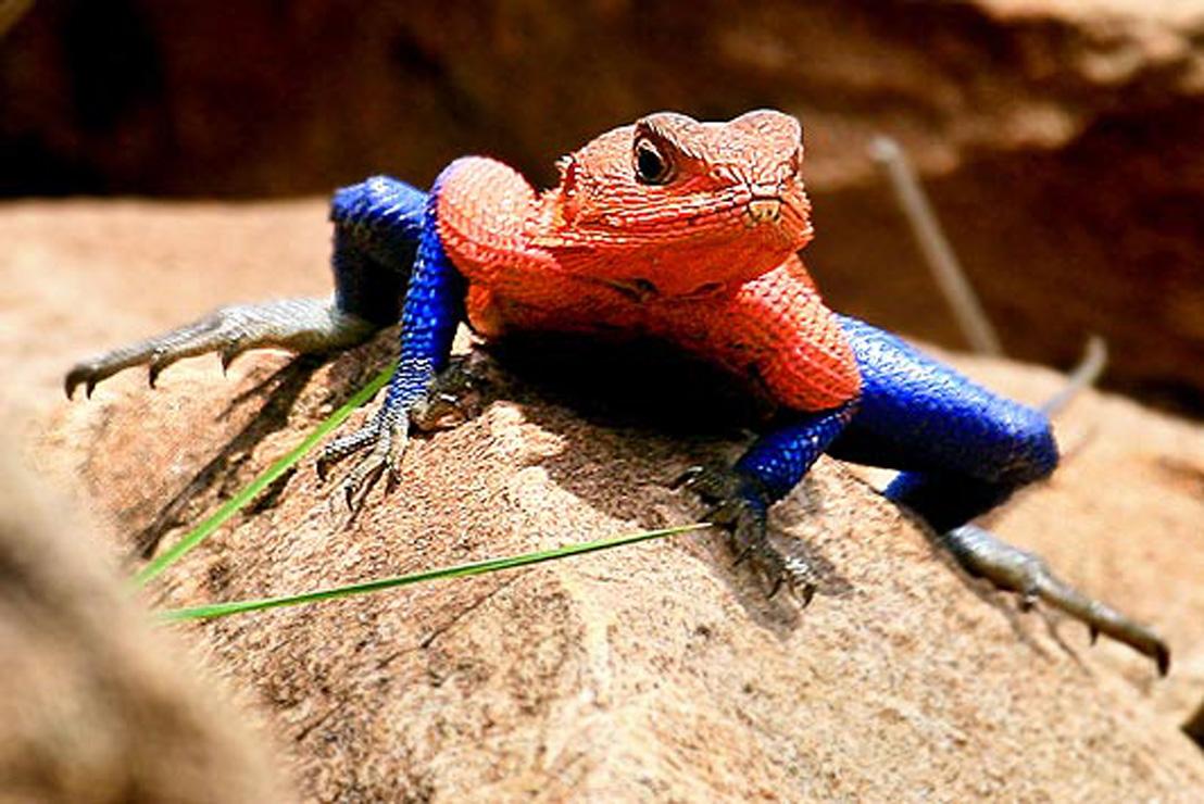 Z Man Lizard Agama lizard ~ ...