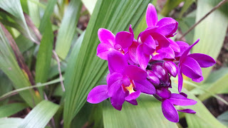 Ground Orchid pink
