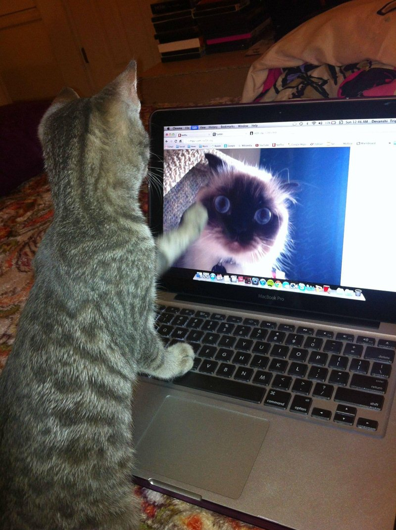 funny cat pictures, cat sees other cat on laptop