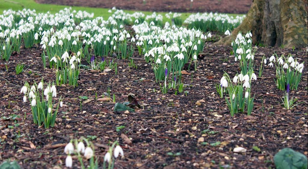 Anglesey Camping | Snowdrops