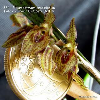 Acianthera crepiniana, Pleurothallis crepiniana, Pleurothallis albopurpurea, Pleurobotryum albopurpureum
