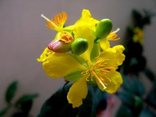 Hình nền hoa mai ngày Tết
