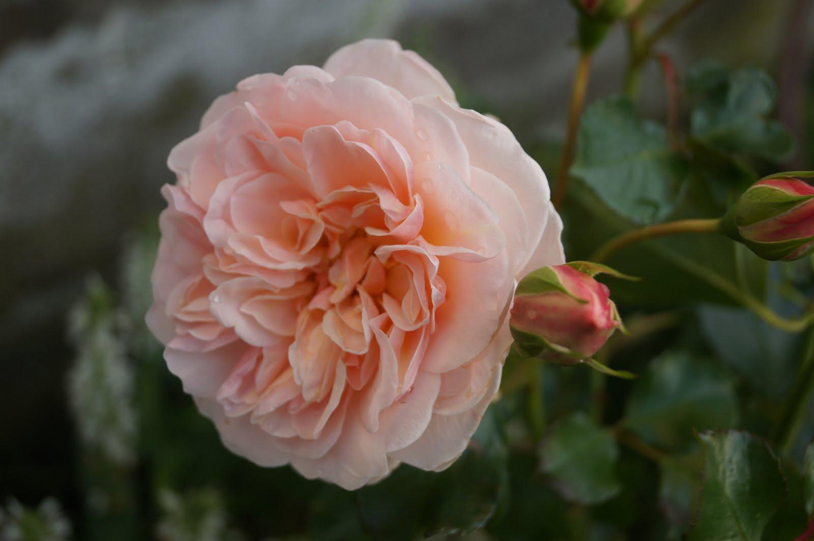 Rosa Clair Renaissance