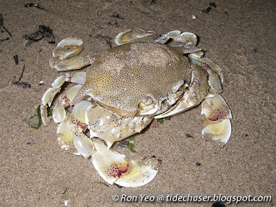 Common Moon Crab (Matuta victor)