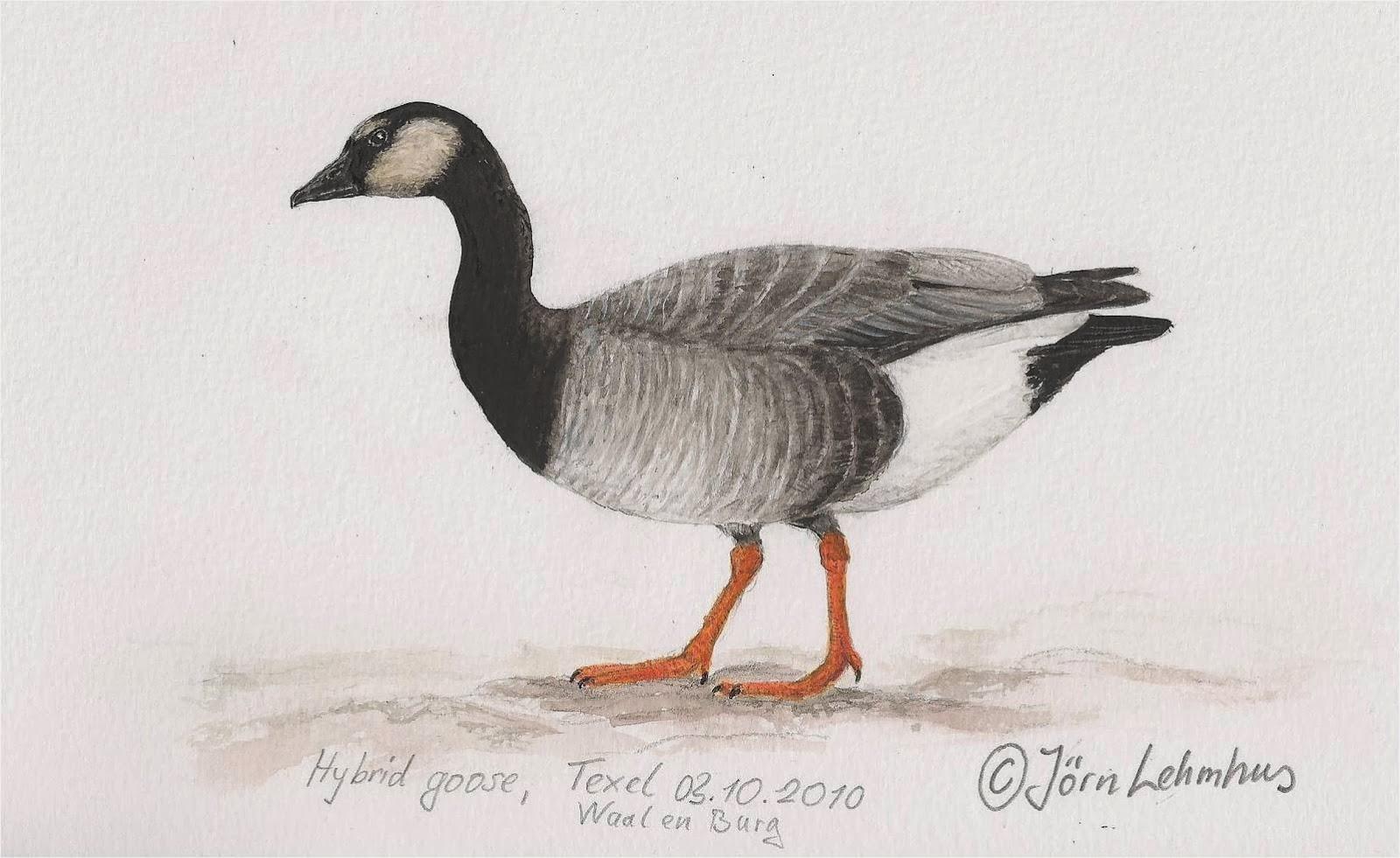 Bien connu Bird Hybrids: Swan Goose x Barnacle Goose BB69