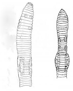 This is a line drawing of Eisenia nordenskioldi mongol, one of the new species. Credit: Robert J. Blakemor