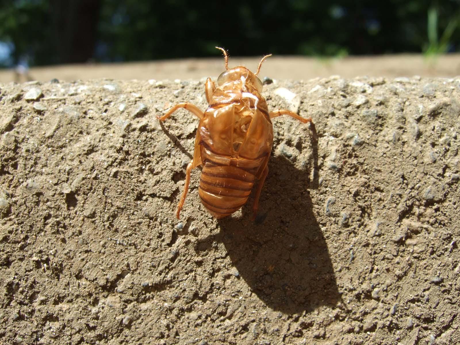 蟬の脱け殻,昆虫〈著作権フリー無料画像〉Free Stock Photos