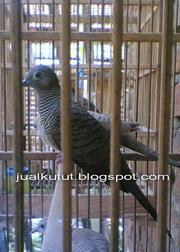 Jual Kutut Hitam Lokal / Kol Buntet / Daringan Kebak Hitam