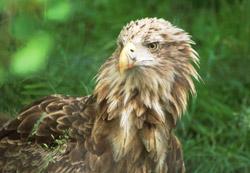 mull sea eagles