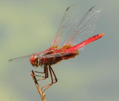 Scarlet Basker (Urothemis signata insignata)