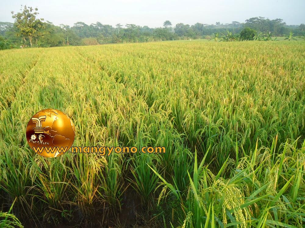 FOTO : Padi sudah menguning, petani siap memanen padi