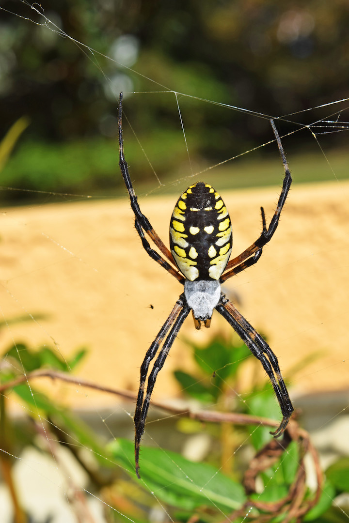 MARIETTE'S BACK TO BASICS: {Black and Yellow Argiope Spider}