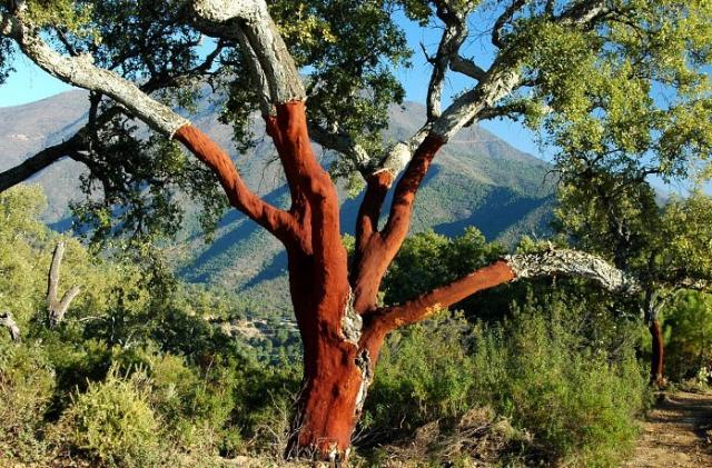 Setas y hongos quercus suber alcornoque mediterr neo for Arboles de hoja perenne para clima mediterraneo