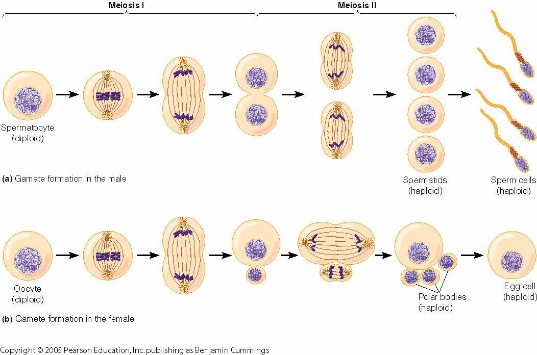 Related pictures meiosis