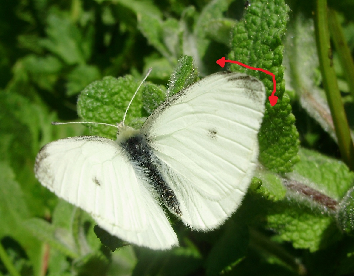 Macho de Pieris rapae y mancha apical