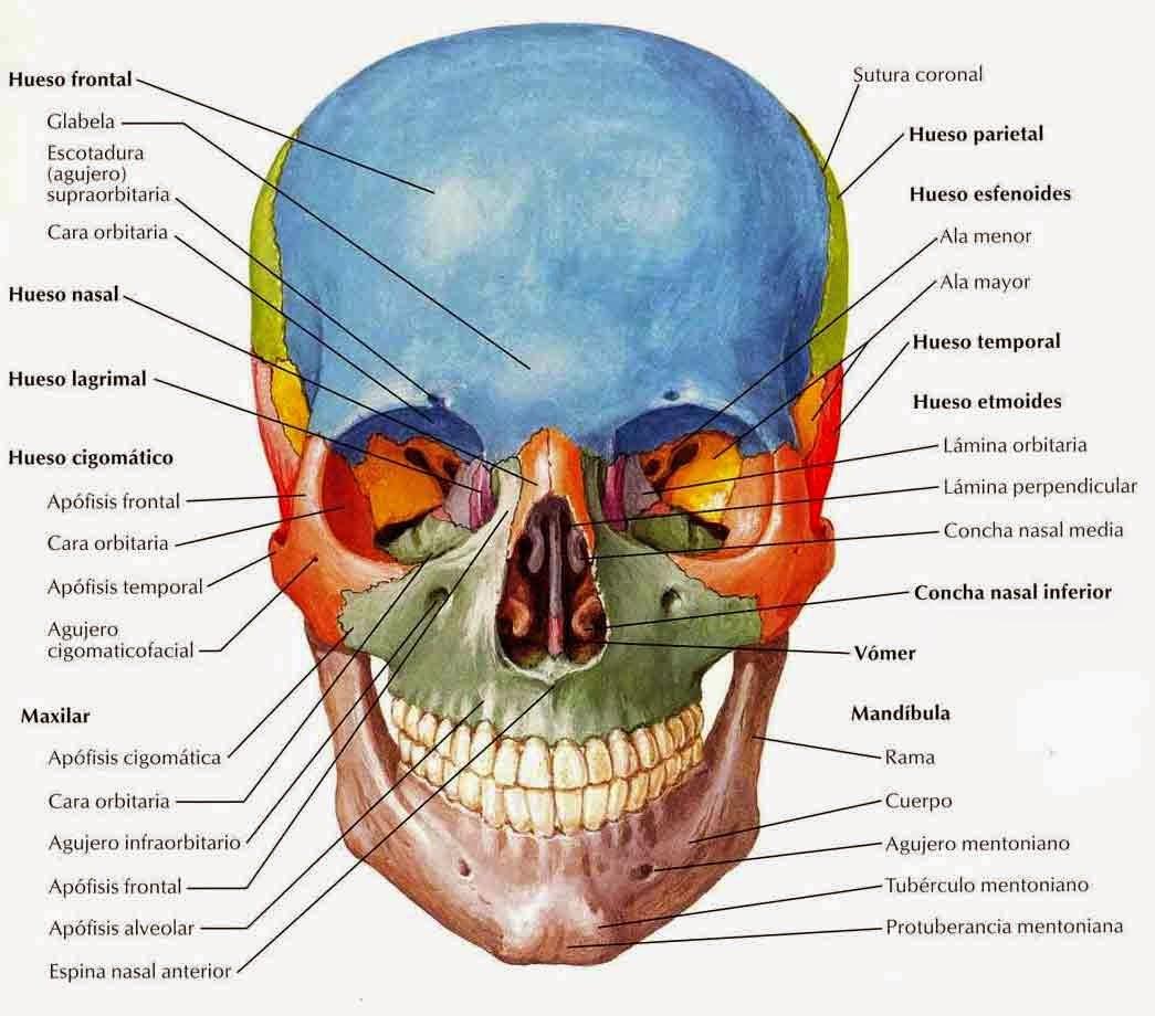 La anatomía Humana: CRÁNEO