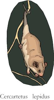 Tasmanian Pygmy Possum Cercartetus Lepidus Free Animal Clipart