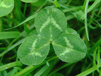 White Clover (Trifolium Repens) Overview, Health Benefits, Side effects