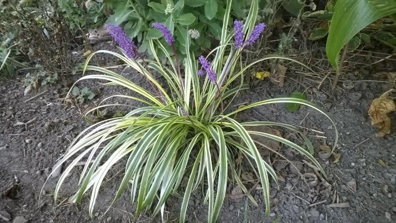 Liriope muscari 'variegata'