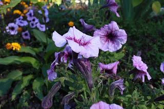 тула, центральный парк, белочки в туле, парк белоусова в туле, цветы, клумбы, белочки, петуния