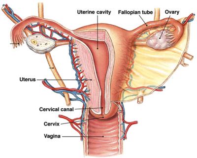 penis vagine