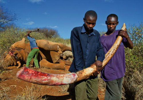 Caçadores matam elefante por causa do marfim
