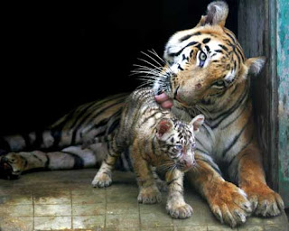 Tigers in India is safe in zoos, as Bengal copies.