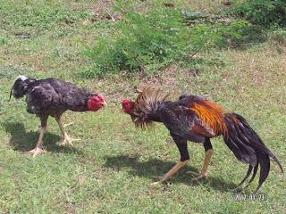 Kualitas ketahanan tubuh ayam bangkok