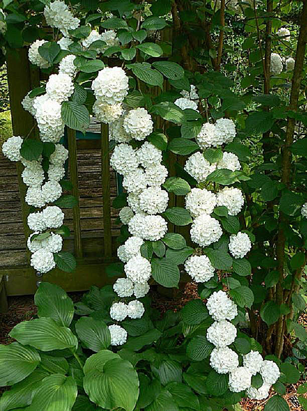 Viburnum Plicatum, the pure white reversion of 'Kern's Pink'