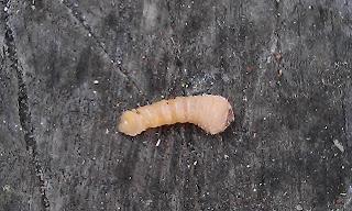 Monochamini Larvae - Wood Borer Larvae