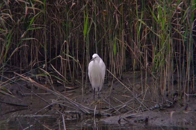 小白鷺,於關渡自然公園
