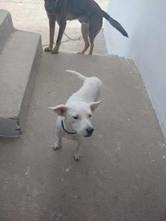 Βρέθηκε να περιφέρεται στη Λαϊκή του Άργους λευκό σκυλάκι