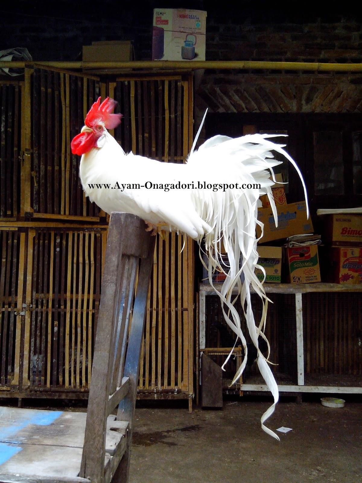 Jual Ayam Hias Onagadori