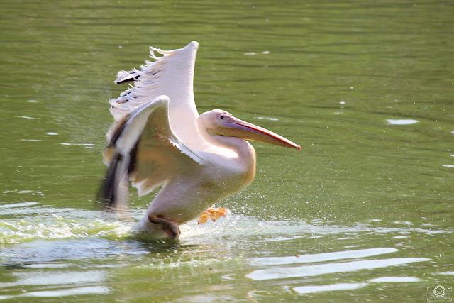 Rosy Pelican, Shashank Mittal Photography, Shashank Mittal, Shashank Mittal, bird photography, migratory bird,