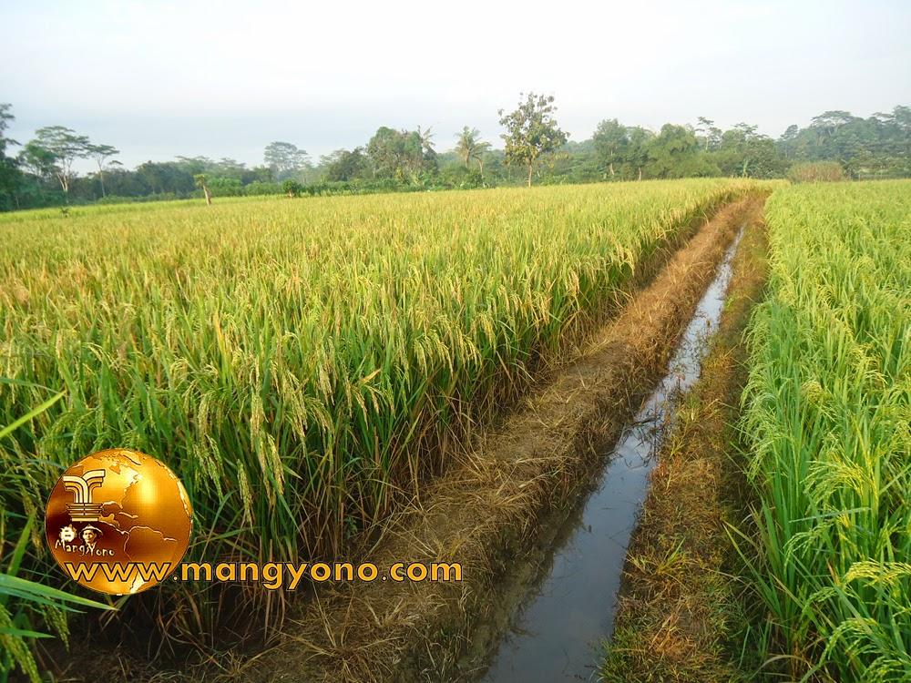 FOTO : Padi di blok Tegalsungsang , Pagaden Barat, Subang para petani siap memanen padi