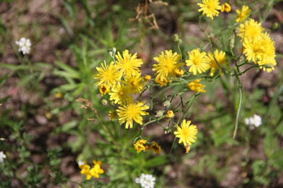 Narrow-leaf Hawksbeard (Crepis tectorum)